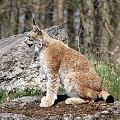 Wilki i rysie w lasach Warmii i Mazur